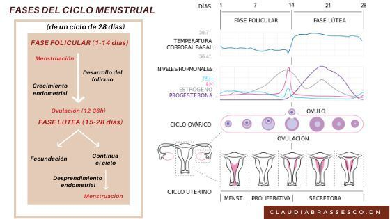 fases cicle menstrual