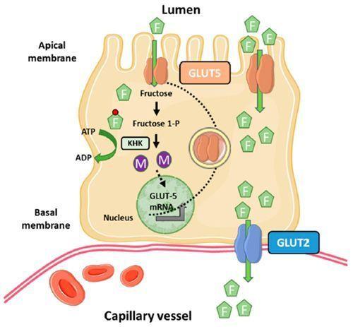 mecanismo de absorción de fructosa